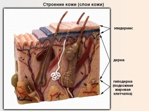Из чего состоит наша кожа